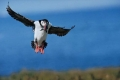 Puffin-Landing-with-Sand-Eels