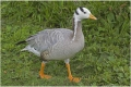 bar-headed-goose-pensthorpe-aug-16