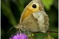 gatekeeper_butterfly