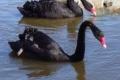 australian_black_swans
