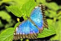butterfly_blue_morpho