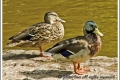 male_and_female_mallard