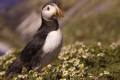 Puffins-View-cr