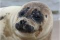 2-Grey-Seal-Pup