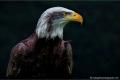 Alaskan-Bald-Eagle-c