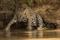 Female Jaguar Thirsty - Jenny Webster