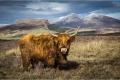 Highland cow in Skye - Jannice Harris