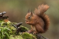 Red Squirrel Foraging in the Rain - Jenny Webster