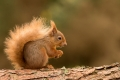 Red Squirrel - Julie Hall