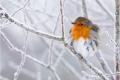 Robin in Winter - Julie Hall