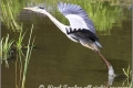 grey_heron_taking_off