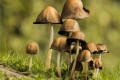 Capped-Mushrooms-by-Rebekah-Nash