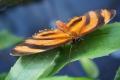 banded-orange