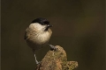 Marsh-Tit-cr