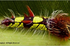 Blue-Morph-Caterpillar-by-Sheila-Billingham