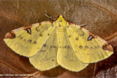 Brimstone-Moth-by-Roger-Tyler