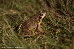 Common-Frog-by-Jan-Harris