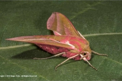 Elephant-Hawkmoth-by-Roger-Tyler
