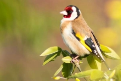 Goldfinch-by-Julie-Hall