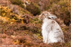 Highland-Mountain-Hare-by-Julie-Hall