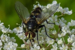 Hoverfly-by-Sheila-Billingham