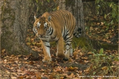 Male-Tiger-Encounter-by-Jenny-Webster