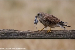Male-kestrel-with-Field-Mouse-by-Jenny-Webster