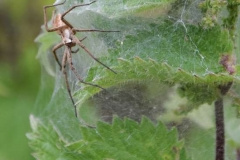 Nursery-Web-Spider-by-Michelle-Chance
