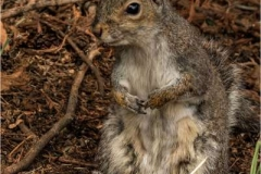 Grey-Squirrel1-by-Sue-Davis