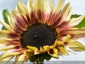 KatherineCooke_Sunflower