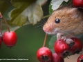 Harvest Mouse by Michael McIlvaney