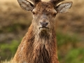 Red Deer by Mike Childs