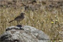 1-Berthelots-Pipit-catching-grass-hopper