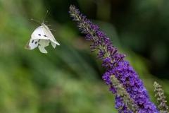 1-Female-Large-White
