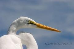 Great-Egret-by-Richard-Chapman
