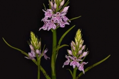 Spotted-Orchid-by-Roger-Tyler