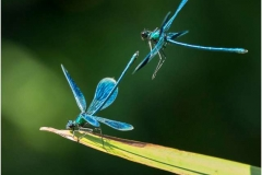 Beautiful-Demoiselle-by-Adrian-Hedges
