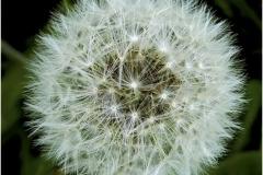 Dandelion-Seed-Head-by-Sheila-Billingham