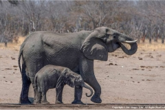 Elephant-and-Calf-by-Roger-Tyler