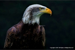 Alaskan-Bald-Eagle-by-Mal-Ogden