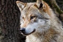 European-Wolf-by-Jenny-Webster