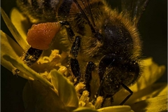 Bee-with-pollen-sac-by-Rebecca-Nash