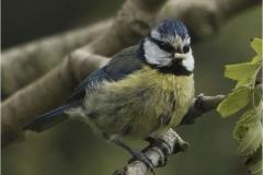 Blue-Tit-with-grub-by-Sheila-Billingham