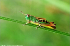 Common-Grasshopper-by-Barry-Green