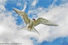 Common-Tern-by-Barry-Green