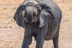 Elephant-by-Roger-Tyler