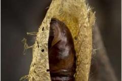 Atlas-Hawk-Moth-Pupae-by-Sheila-Billingham