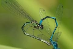Azure-Damselflies-Coenagrion-puella-by-Richard-Chapman-1
