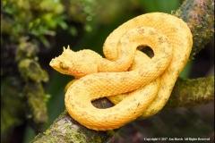 Eyelash-viper-Bothriechis-schlegelii-by-Jan-Harris