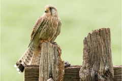 Female-Kestrel-Wild-and-Free-by-Julie-Hall